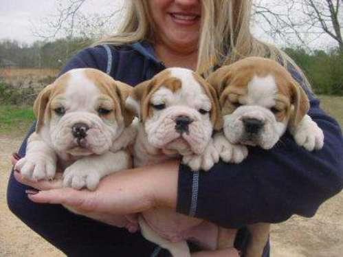 Adorável inglês bulldog cachorros para adopção