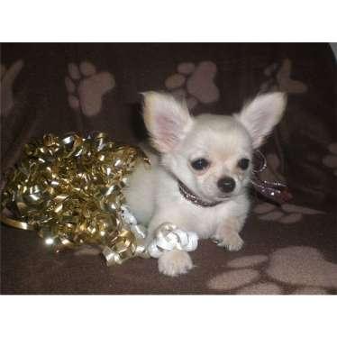 Nosso cachorro-Dramatic sempre chihuahua