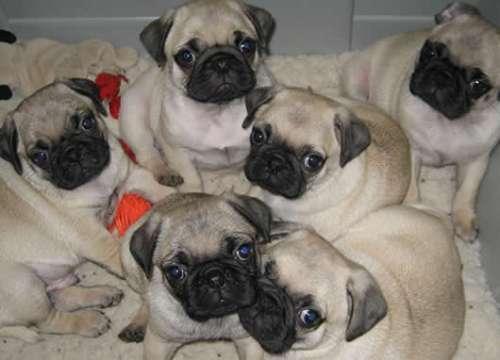 As fêmeas e os machos agradáveis pug cachorros para adopção.